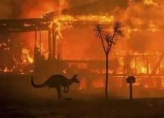 心痛!澳洲大火四個月未滅,五億動物喪生,卻還要殺一萬駱駝?
